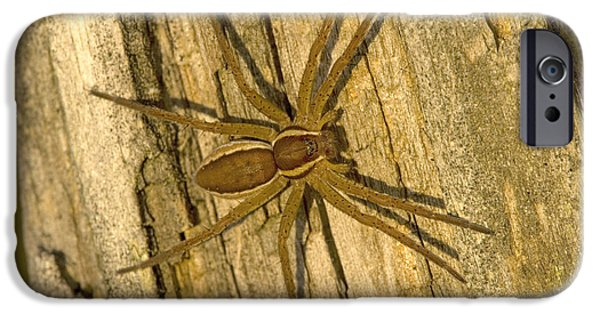 Arachnida iPhone Cases - Common Raft Spider iPhone Case by Bob Gibbons