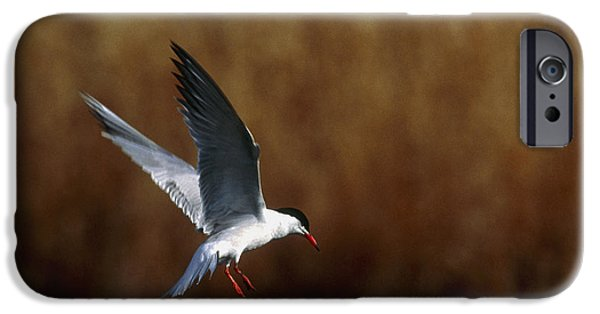 Hirundo iPhone Cases - Common Tern Flying iPhone Case by Andy Harmer