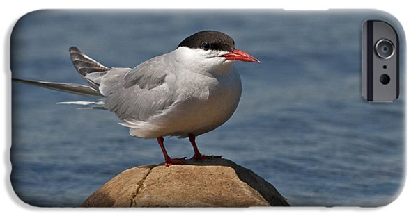 Hirundo iPhone Cases - Common Tern... iPhone Case by Nina Stavlund