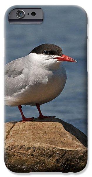 Common Tern... iPhone Case by Nina Stavlund