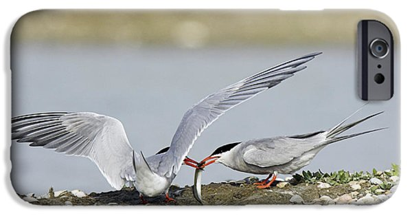 Hirundo iPhone Cases - Common Terns iPhone Case by Duncan Shaw