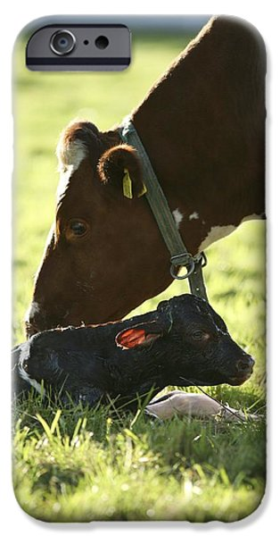 Parental Care iPhone Cases - Cow And Newborn Calf iPhone Case by Bjorn Svensson