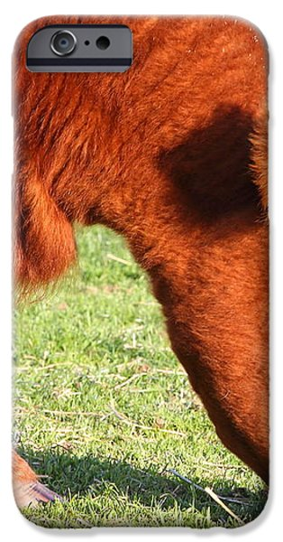 Cow Grazing In The Field . 7D9931 iPhone Case by Wingsdomain Art and Photography
