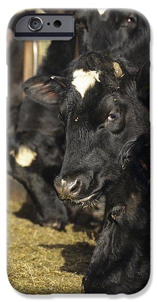 Cows iPhone Case by David Aubrey