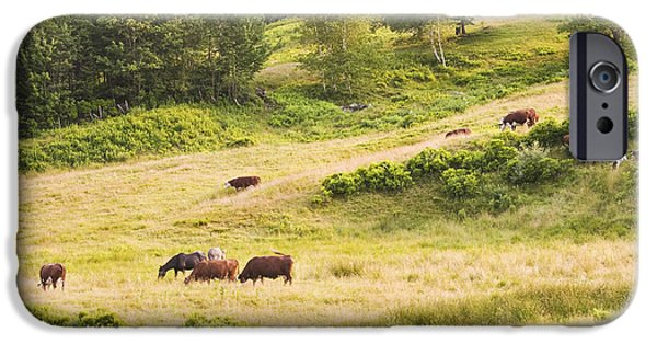 New England Dairy Farms iPhone Cases - Cows Grazing In Field Rockport Maine iPhone Case by Keith Webber Jr