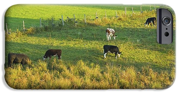 Barbed Wire Fences iPhone Cases - Cows Grazing In late Day Light On Farm Maine iPhone Case by Keith Webber Jr