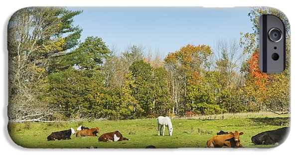 New England Dairy Farms iPhone Cases - Cows Laying On Grass In Farm Field Autumn Maine iPhone Case by Keith Webber Jr