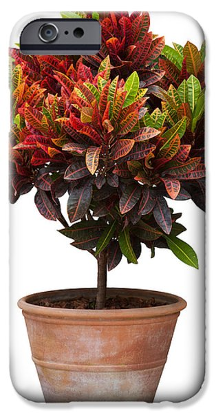 Plant iPhone Cases - Croton Tree In Flowerpot iPhone Case by Atiketta Sangasaeng