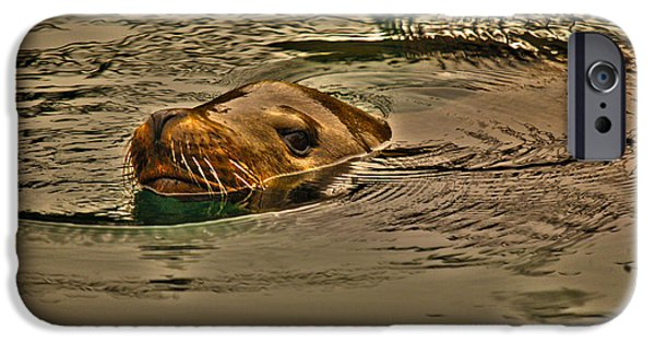 Sea Lions iPhone Cases - Curious iPhone Case by Cheryl Young
