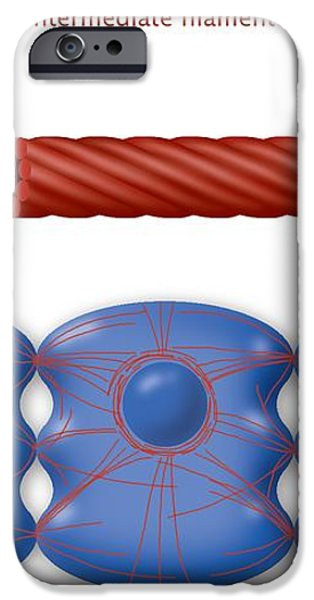 Cytoskeleton Components, Diagram iPhone Case by Art For Science