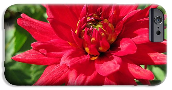 Autumn iPhone Cases - Dahlia named Red Pigmy iPhone Case by J McCombie