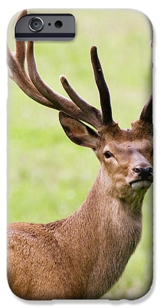 Deer With Antlers, Harrogate iPhone Case by John Short