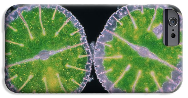 Desmid iPhone Cases - Desmids, Green Algae iPhone Case by Manfred Kage