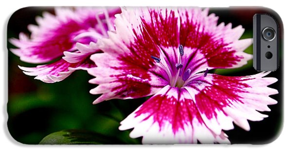Nature Photographs iPhone Cases - Dianthus iPhone Case by Rona Black
