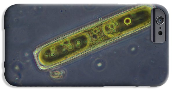 Diatoms iPhone Cases - Diatom - Pinnulara Sp iPhone Case by M. I. Walker