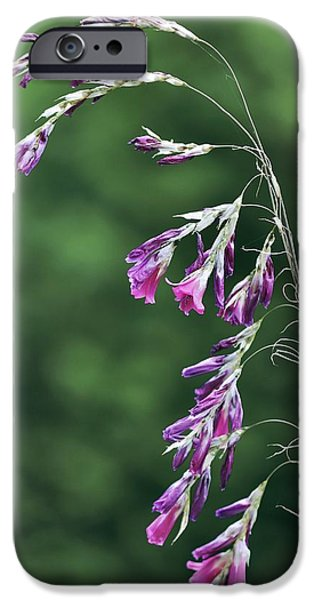 Dierama Pulcherrimum In Flower iPhone Case by Colin Varndell