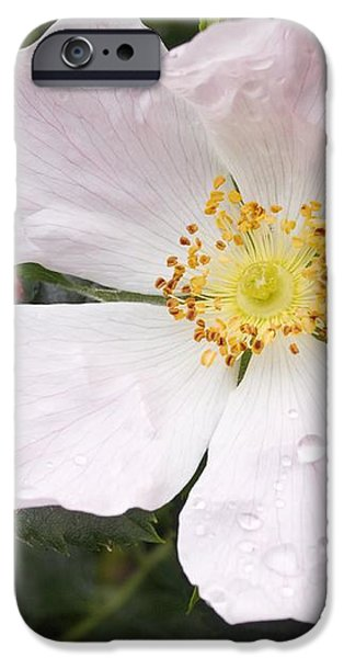 Dog Rose (rosa Canina) iPhone Case by Adrian Bicker