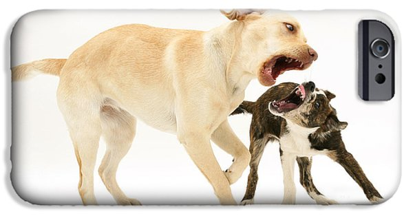 Mixed Labrador Retriever iPhone Cases - Dogs Playing iPhone Case by Mark Taylor