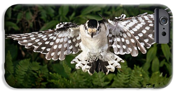 Woodpecker iPhone Cases - Downy Woodpecker In Flight iPhone Case by Ted Kinsman
