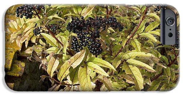 Black Berries iPhone Cases - Dwarf Elder (sambucus Ebulus) iPhone Case by Bob Gibbons
