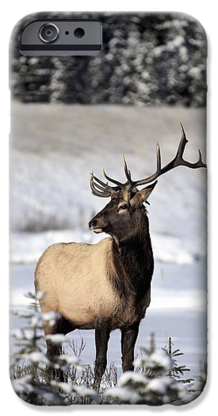 Wild Animals iPhone Cases - Elk Cervus Canadensis Bull Elk During iPhone Case by Richard Wear