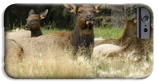Harem Photographs iPhone Cases - Elk Harem iPhone Case by Bob Christopher