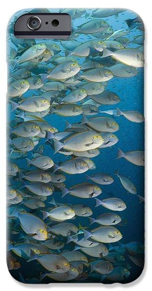 Elongate Surgeonfish School iPhone Case by Georgette Douwma