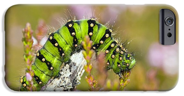 Eating Entomology iPhone Cases - Emperor Moth Caterpillar iPhone Case by Duncan Shaw
