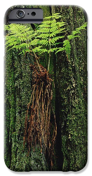 Epiphytic Fern Growing On Redwood iPhone Case by Gerry Ellis