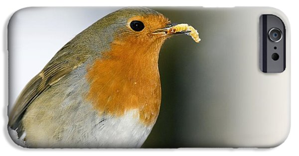Eating Entomology iPhone Cases - European Robin Feeding On A Mealworm iPhone Case by Duncan Shaw
