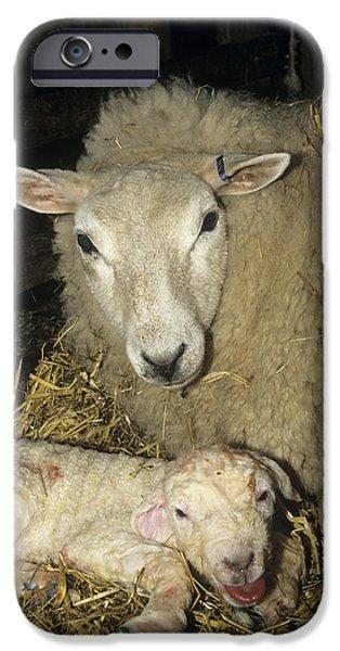 Ewe And New Born Lamb iPhone Case by David Aubrey