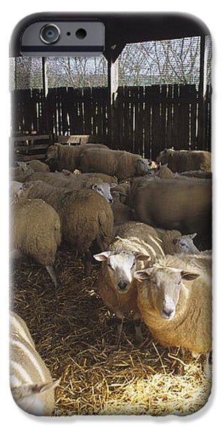 Ewes iPhone Case by David Aubrey
