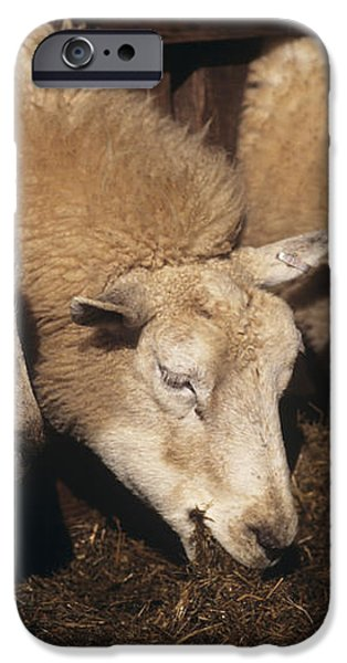Ewes Feeding iPhone Case by David Aubrey