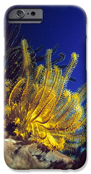 Featherstars On Coral iPhone Case by Peter Scoones