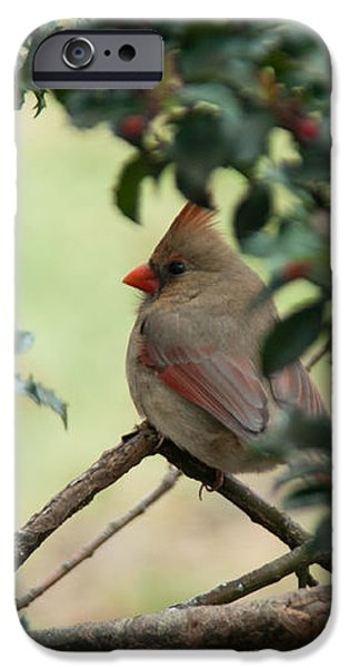 Female Cardinal iPhone Case by Ron Smith