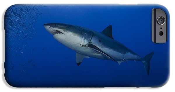 Fish Photographs iPhone Cases - Female Great White With Remora iPhone Case by Todd Winner