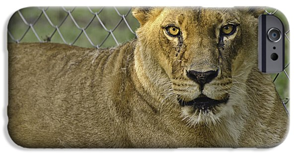 Animals Photos iPhone Cases - Female Lion iPhone Case by Melany Sarafis