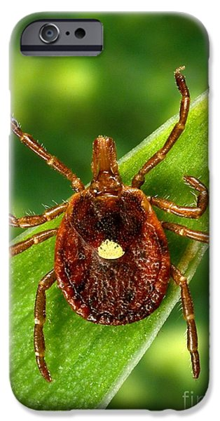 Staris iPhone Cases - Female Lone Star Tick iPhone Case by Science Source