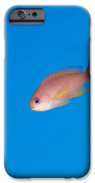 Popular iPhone Cases - Female Stocky Anthias iPhone Case by Matthew Oldfield