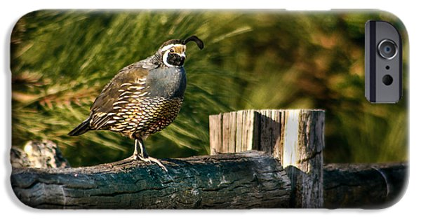 California Quail iPhone Cases - Fence Rider iPhone Case by Robert Bales