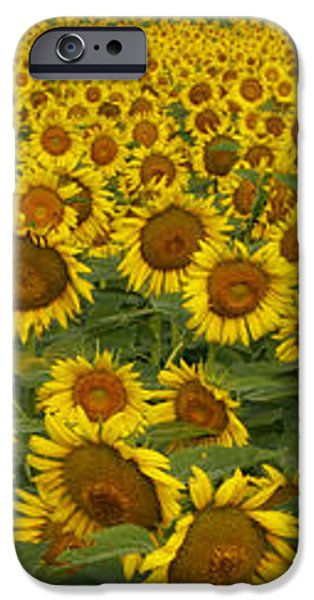 Field of Domestic Sunflowers iPhone Case by Kenneth M Highfill and Photo Researchers
