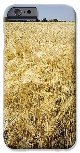 Agricultural iPhone Cases - Field Of Wheat iPhone Case by Paul Rapson