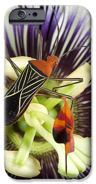 Flag-footed Bug Anisocelis Flavolineata iPhone Case by Christian Ziegler