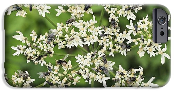 Eating Entomology iPhone Cases - Flies Feeding On A Carrot Flower Head iPhone Case by Adrian Bicker