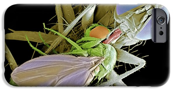 Eating Entomology iPhone Cases - Fly Eating Another Fly, Sem iPhone Case by Volker Steger