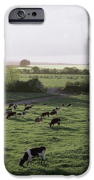 Friesian Bullocks, Ireland Herd Of iPhone Case by The Irish Image Collection