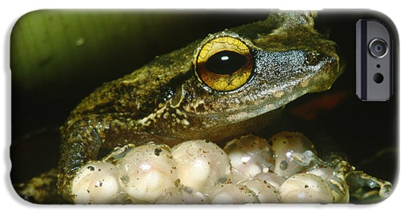 Frogs Photographs iPhone Cases - Frog Guarding His Eggs iPhone Case by Dante Fenolio