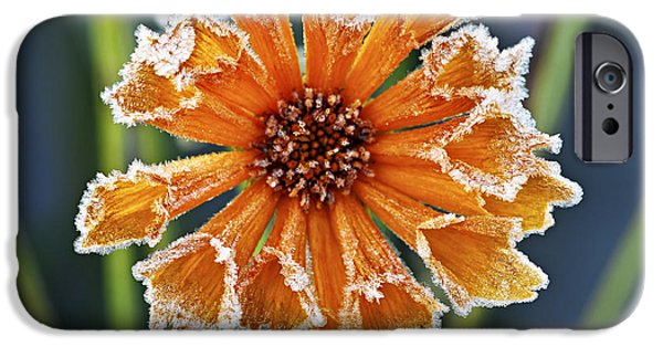 Snowy iPhone Cases - Frosty flower iPhone Case by Elena Elisseeva