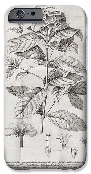 Caption iPhone Cases - Gardenia Plant, 18th Century iPhone Case by Middle Temple Library