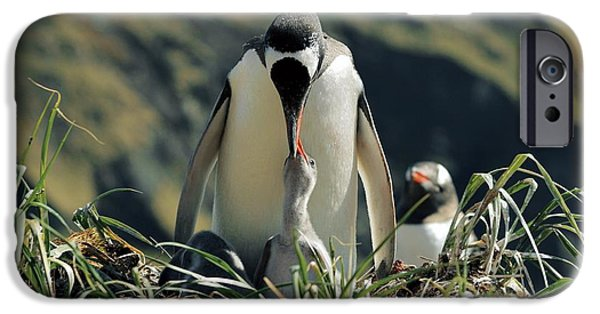 Feeds Chicks iPhone Cases - Gentoo Penguin Feeding Chick iPhone Case by Charlotte Main